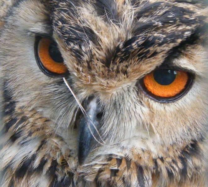 Owl Eye Colour