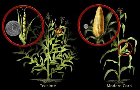 natural corn teosinte